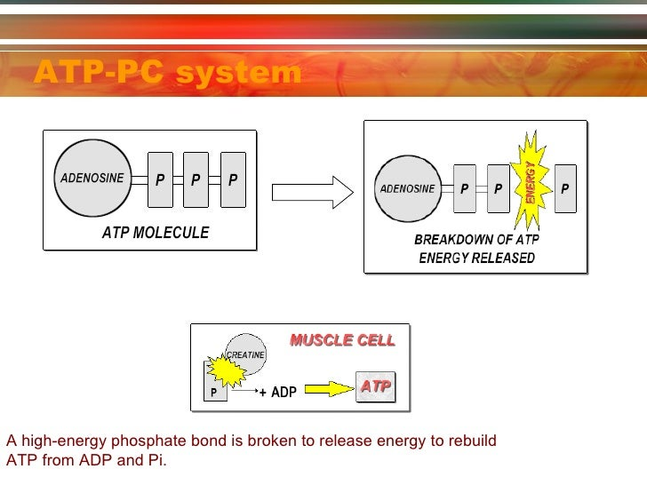 atp-pc energy system resynthesis The aerobic system uses carbohydrates and fats as its primary energy sources once the this breakdown is called glycolysis and releases sufficient energy to enable the resynthesis of some atp (some because the number of molecules of atp resynthesised varies between glucose and glycogen.