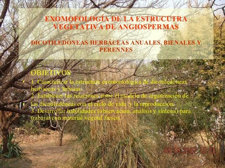 EXOMOFOLOGÍA DE LA ESTRUCUTRA VEGETATIVA DE ANGIOSPERMAS DICOTILEDÓNEAS HERBÁCEAS ANUALES, BIENALES Y PERENNES <ul><li>OBJ...