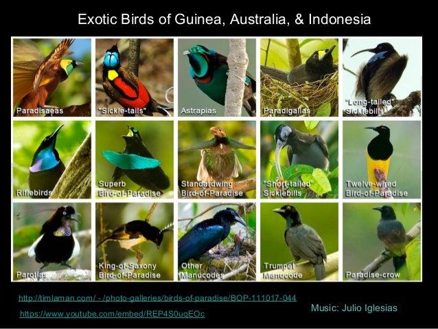 Exotic Birds of Guinea, Australia, & Indonesia http://timlaman.com/ - /photo-galleries/birds-of-paradise/BOP-111017-044 ht...