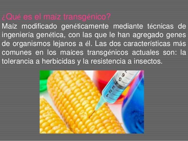 ¿Qué es el maíz transgénico? Maíz modificado genéticamente mediante técnicas de ingeniería genética, con las que le han ag...