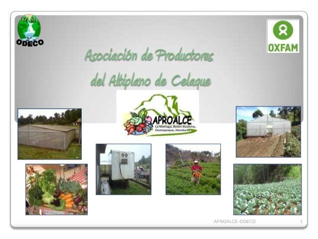 Asociación de Productores del Altiplano de Celaque                            APROALCE-ODECO   1