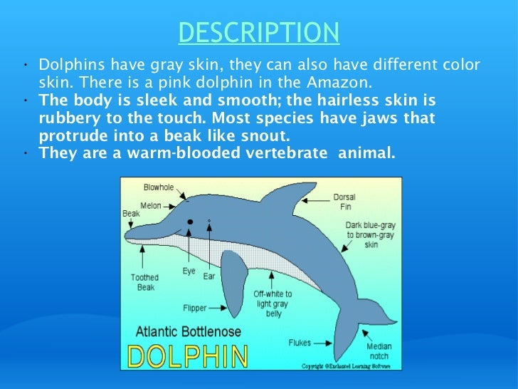 describing the bottlenose dolphins Bottlenose dolphins (tursiops truncatus)introduction: when most people think of a dolphin, this is the animal that comes to mind it may surprise some people that, scientists have actually classified over 35 different species of marine and freshwater dolphins.