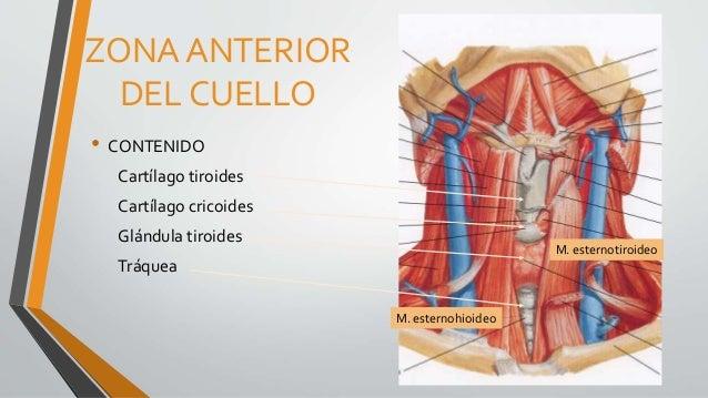Exploraci n de cuello mama y axila for Esternohioideo y esternotiroideo