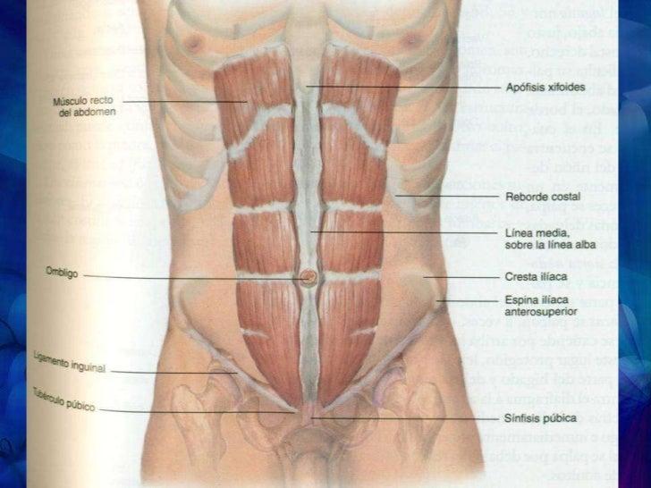 Magnífico Diagrama De Los Músculos Abdominales Componente - Anatomía ...