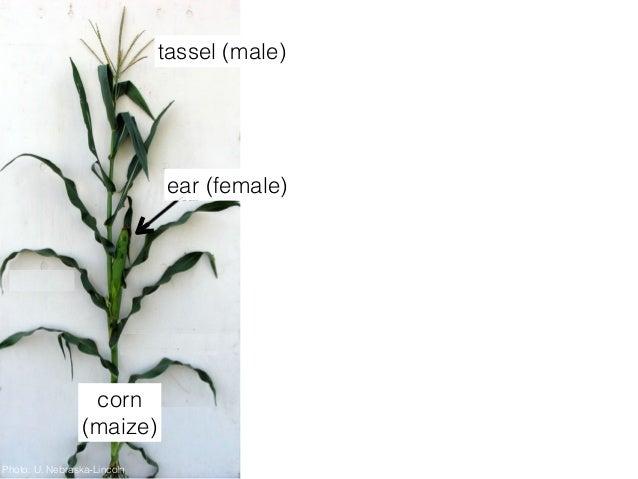 """2015 SF Exploratorium Lecture: """"Corn: Diversity and Origins"""" Slide 2"""