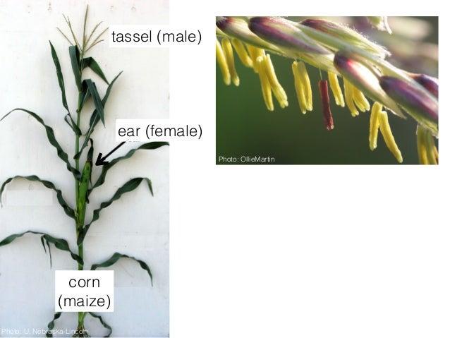 """2015 SF Exploratorium Lecture: """"Corn: Diversity and Origins"""" Slide 3"""