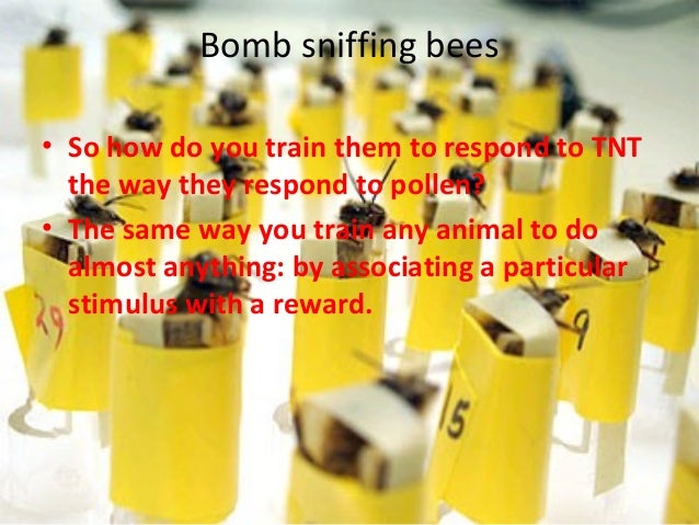 Bomb sniffing bees• So how do you train them to respond to TNT  the way they respond to pollen?• The same way you train an...