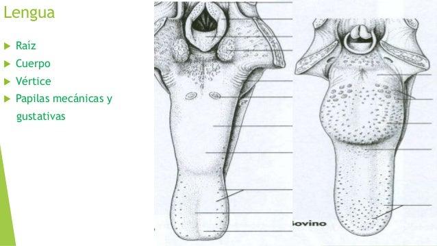 Cavidad nasal anatomía veterinaria