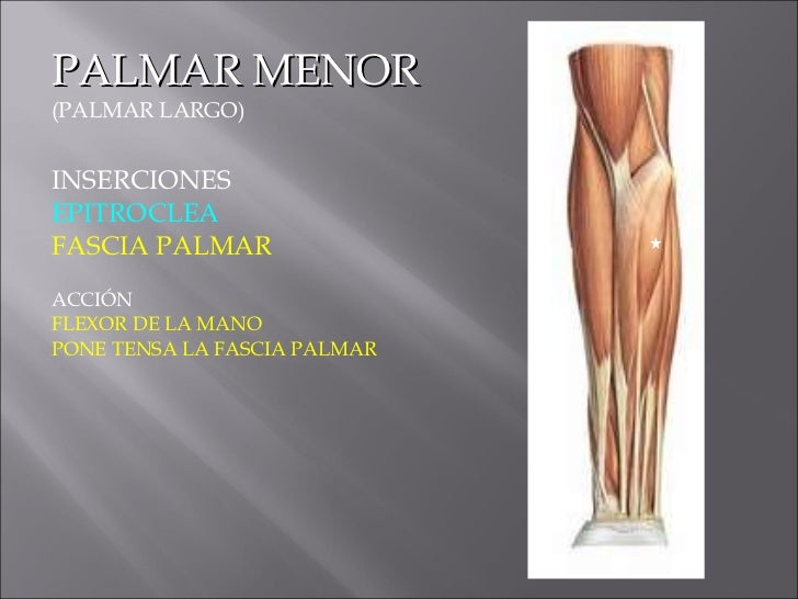 Expo Anatomia Miembros Miologia