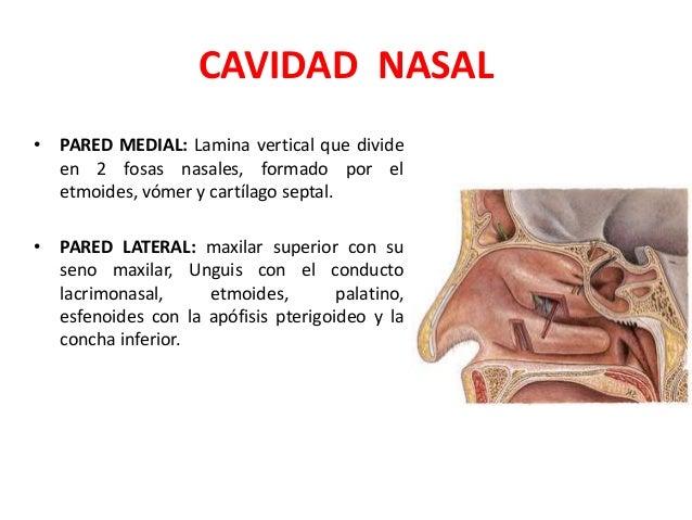 Anatomia de la nariz senos paranasales y faringe for Pared lateral de la cavidad nasal