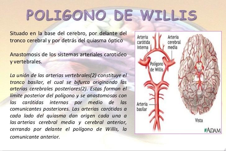 Anatomia cerebro