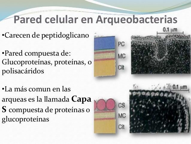 Alan gerardo rold n blancas pared celular de bacterias y - Como secar las paredes despues de la inundacion ...