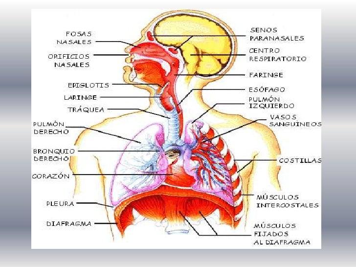 Atractivo El Sistema Respiratorio Anatomía Y Fisiología Notas Foto ...