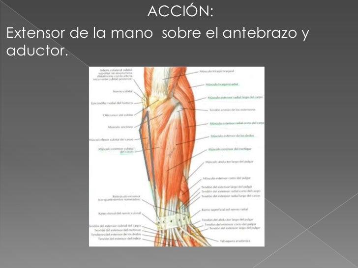 EQUIPO 8 TEMA 2 músculos del antebrazo (posterior y lateral)