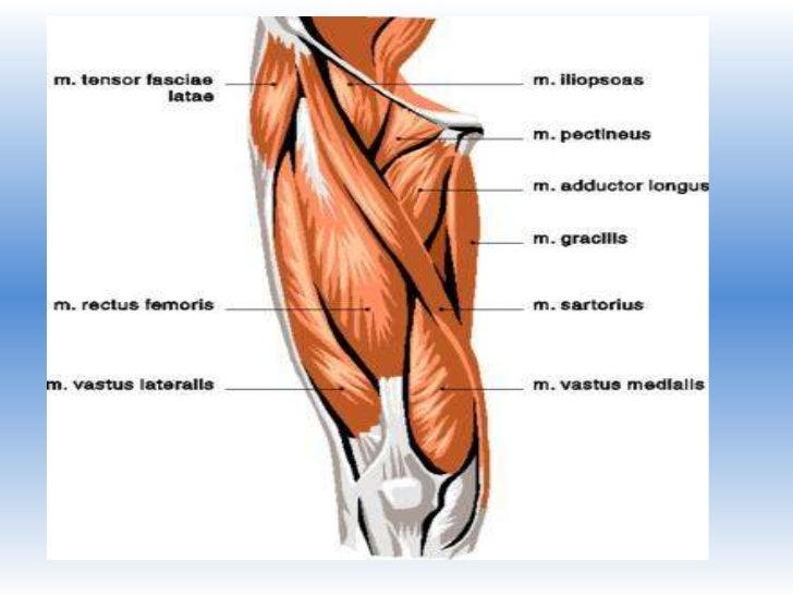 EQUIPO 8 tema 4 músculos del muslo
