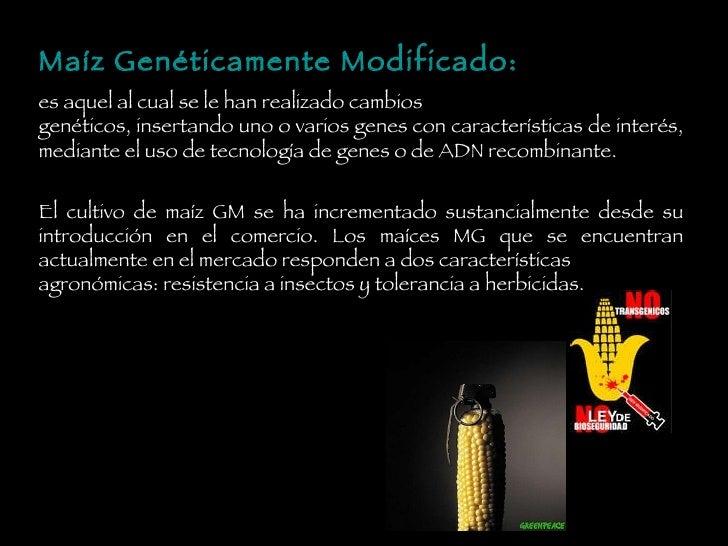 Maíz Genéticamente Modificado: es aquel al cual se le han realizado cambios genéticos, insertando uno o varios genes con c...