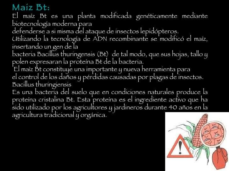 uvvgy Maiz Bt: El maíz Bt es una planta modificada genéticamente mediante biotecnología moderna para defenderse a si misma...