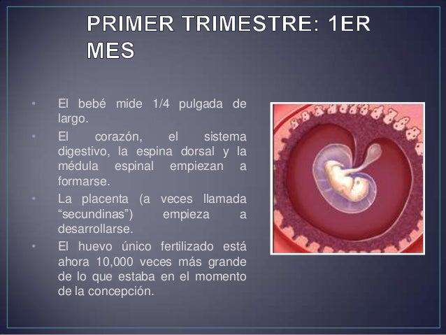 • El bebé mide 1-1/8 pulgadas de largo. • El corazón está funcionando. • Los ojos, la nariz, la lengua, las orejas y los d...