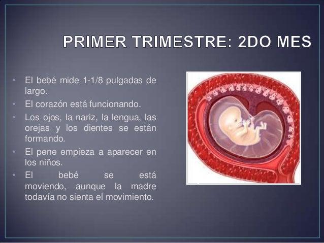• El bebé mide 2-1/2 a 3 pulgadas de largo. • Pesa de 1/2 a 1 onza aproximadamente. • El bebé toma una forma reconocible. ...