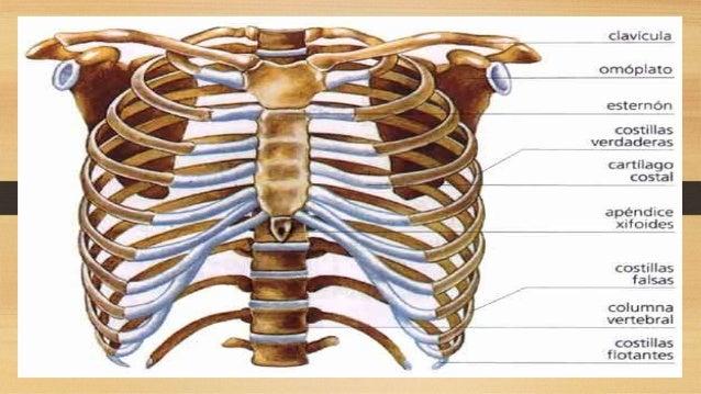 huesos del cuello y torax
