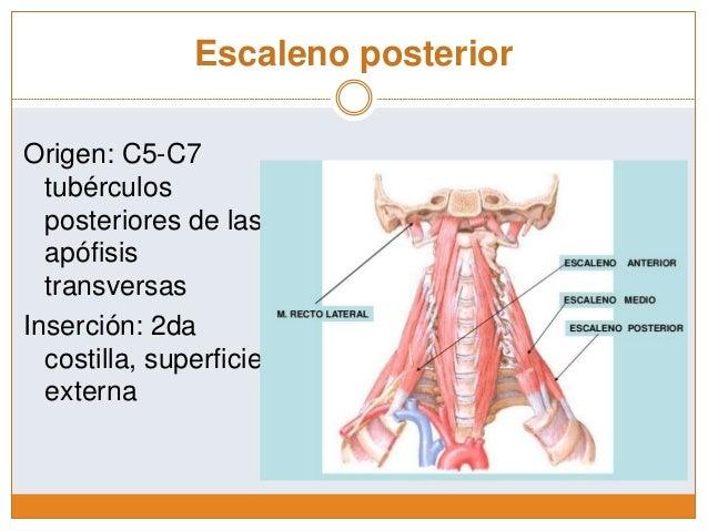 Músculos Escalenos y prevertebrales