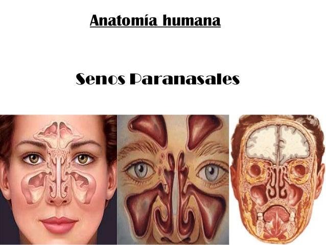 Anatomía humana Senos Paranasales