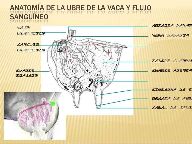 Expo anatomia de la vaca