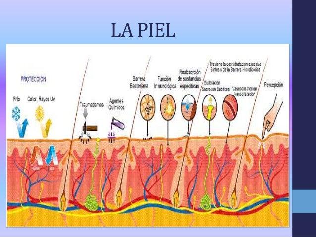 Anatomia y fisiologia del sentido del tacto