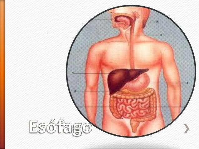 anatomia y fisiologia de esofago estomago e intestinos