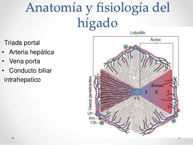 Higado Anatopatologia