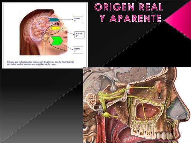 Es un nervio craneal mixto, sensitivo y motor. Principal nervio sensitivo del rostro. Consta de 3 ramas: Oftálmica (V1), M...