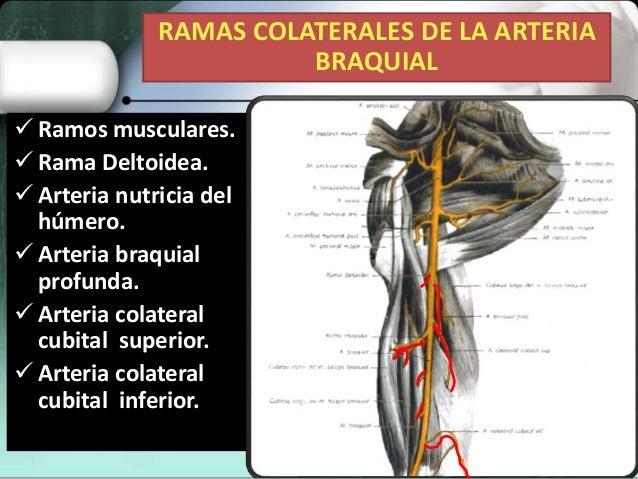 Expo arterias de miembro superior (art. axilar y braquial ) dra fran…