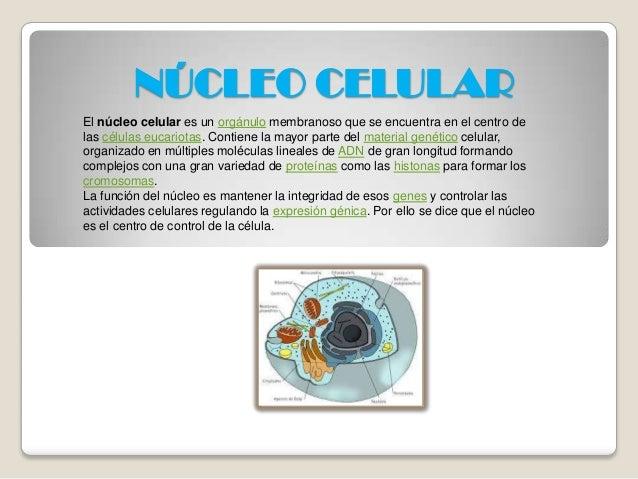 NÚCLEO CELULAR El núcleo celular es un orgánulo membranoso que se encuentra en el centro de las células eucariotas. Contie...