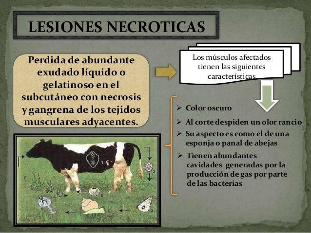 El pasto Si el animal no está vacunado contrae la             En los abrevaderosinfección a través de:                    ...