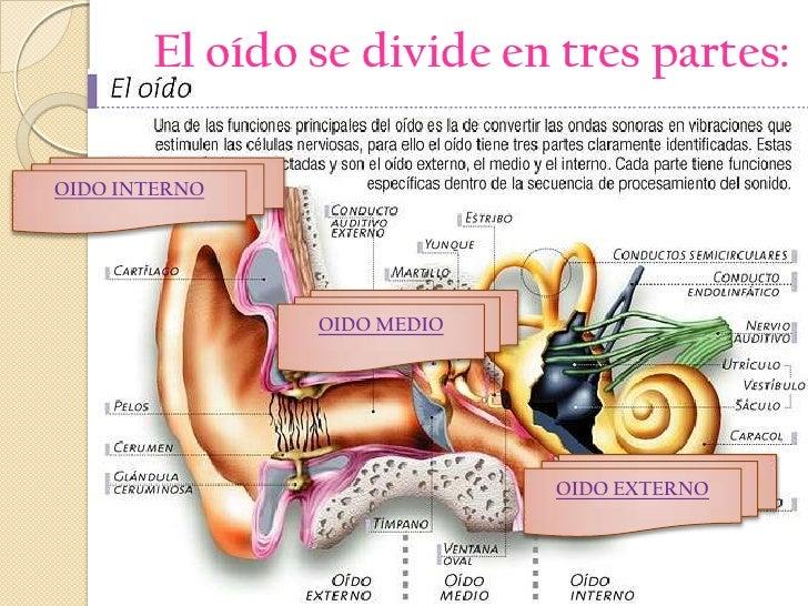 Contemporáneo Anatomía Del Canal Auditivo Patrón - Anatomía de Las ...