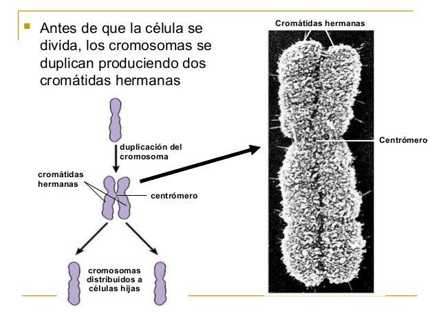 Mitosis meiosis - Spa en dos hermanas ...