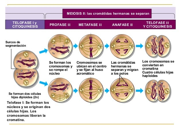Stages Of Metaphase 1 mitosis meiosis