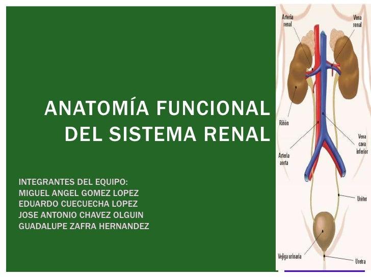 ANATOMÍA FUNCIONAL      DEL SISTEMA RENALINTEGRANTES DEL EQUIPO:MIGUEL ANGEL GOMEZ LOPEZEDUARDO CUECUECHA LOPEZJOSE ANTONI...