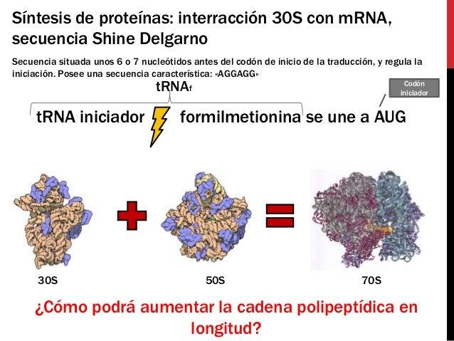 Síntesis de proteínas: interracción 30S con mRNA,secuencia Shine DelgarnoSecuencia situada unos 6 o 7 nucleótidos antes de...