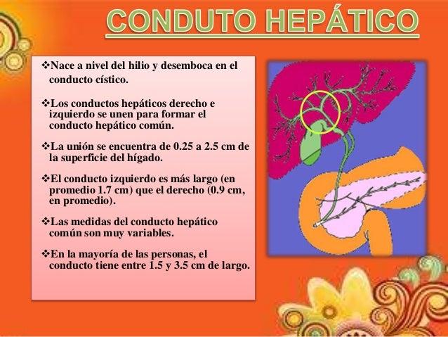 Los Conductos Hepático Derecho - Home Rumah