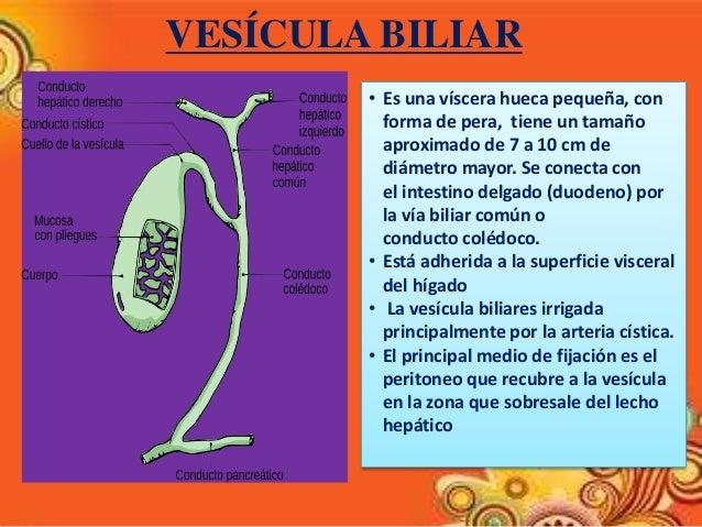 anatomía radiológica de vías biliares