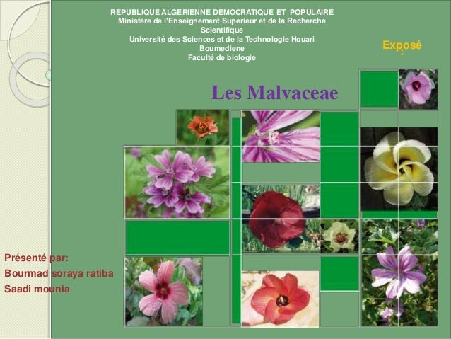 Présenté par: Bourmad soraya ratiba Saadi mounia Les Malvaceae Exposé : REPUBLIQUE ALGERIENNE DEMOCRATIQUE ET POPULAIRE Mi...