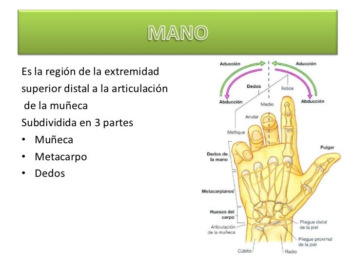 Anatomía Muñeca