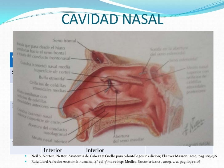 Netter anatomia de cabeza y cuello para odontologos