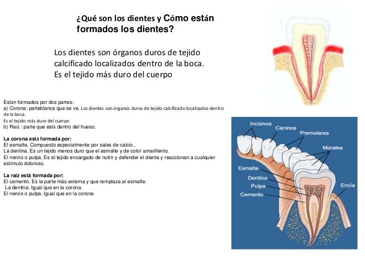 ¿Qué son los dientes y Cómo están                                  formados los dientes?                       Los dientes...