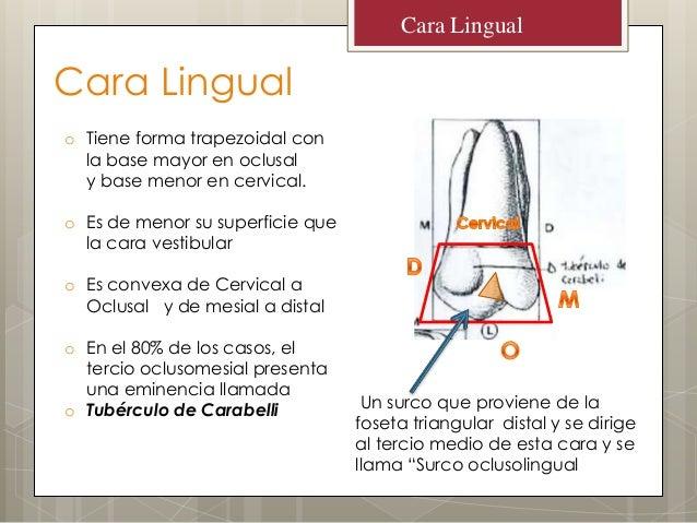 Cara Lingualo Tiene forma trapezoidal conla base mayor en oclusaly base menor en cervical.o Es de menor su superficie quel...