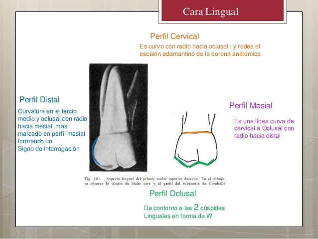 Cara LingualPerfil OclusalPerfil CervicalPerfil MesialPerfil DistalDa contorno a las 2 cúspidesLinguales en forma de WEs c...