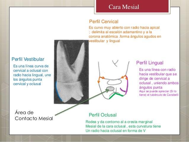 Perfil OclusalPerfil CervicalPerfil LingualPerfil VestibularRodea y da contorno al a cresta marginalMesial de la cara oclu...