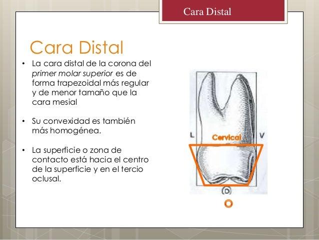 Cara DistalCara Distal• La cara distal de la corona delprimer molar superior es deforma trapezoidal más regulary de menor ...