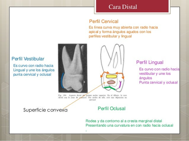 Cara DistalPerfil OclusalPerfil CervicalPerfil LingualPerfil VestibularRodea y da contorno al a cresta marginal distalPres...